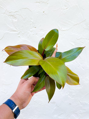 Philodendron 'McColley's Finale'  - 6