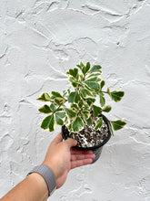 "Load image into Gallery viewer, Variegated Ficus Triangularis - 6"" pot - Dade Plant Company"