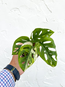 "Monstera Adansonii Variegated  - 4"" pot - Dade Plant Company"