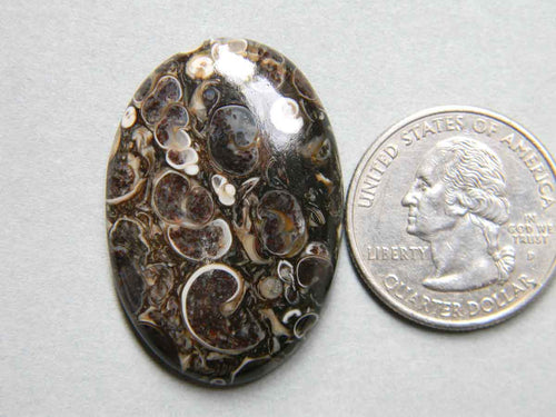 36x25 mm, Turritella Cabochon, Oval Shape Turritella Agate