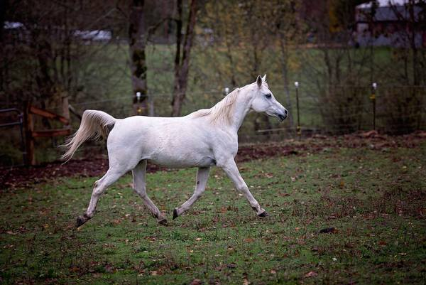 arabian horse gray