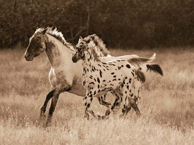 appaloosa running filly