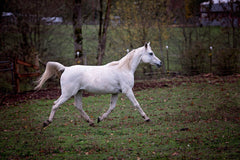 shine Arabian horse