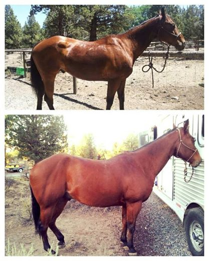 Before and After Bay Horse 90 days on Super Weight Gain Supplement by Horse Guard