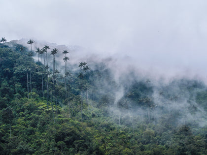 HD Metal Print - Wax palms in the Colombian jungle