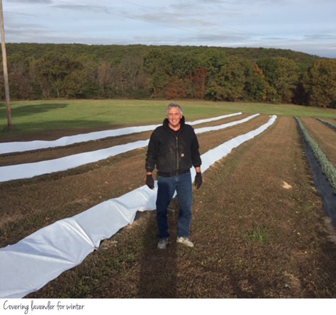 Covering lavender for winter