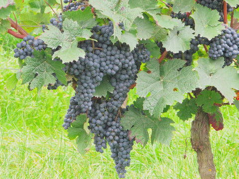 Grapes in the Sint Catharinadal vineyard