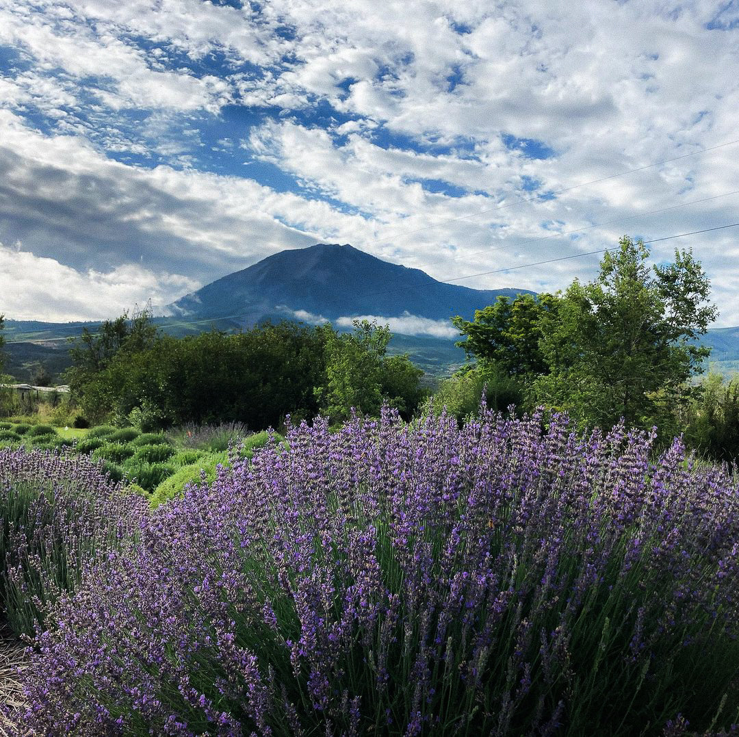 Lavender Oil: What Dreams May Come