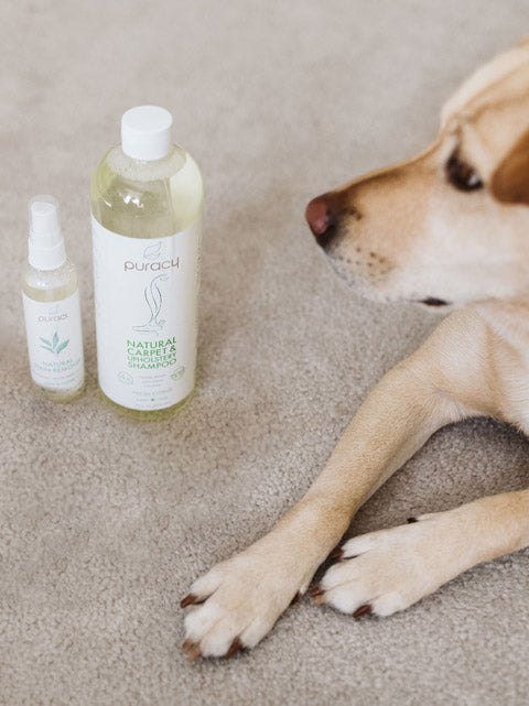 Dog on carpet with Puracy Natural Upholstery Shampoo