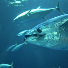 Eight small-scale Indonesian tuna fisheries earn MSC certification
