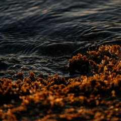 Global investors boost New Zealand red seaweed farming venture