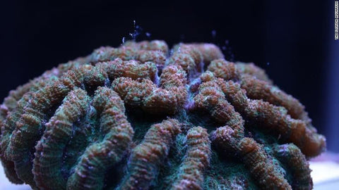 How scientists could save coral from brink of extinction