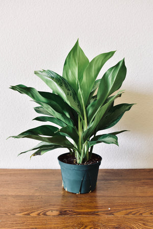 Aglaonema 'Silver Bay' Chinese Evergreen