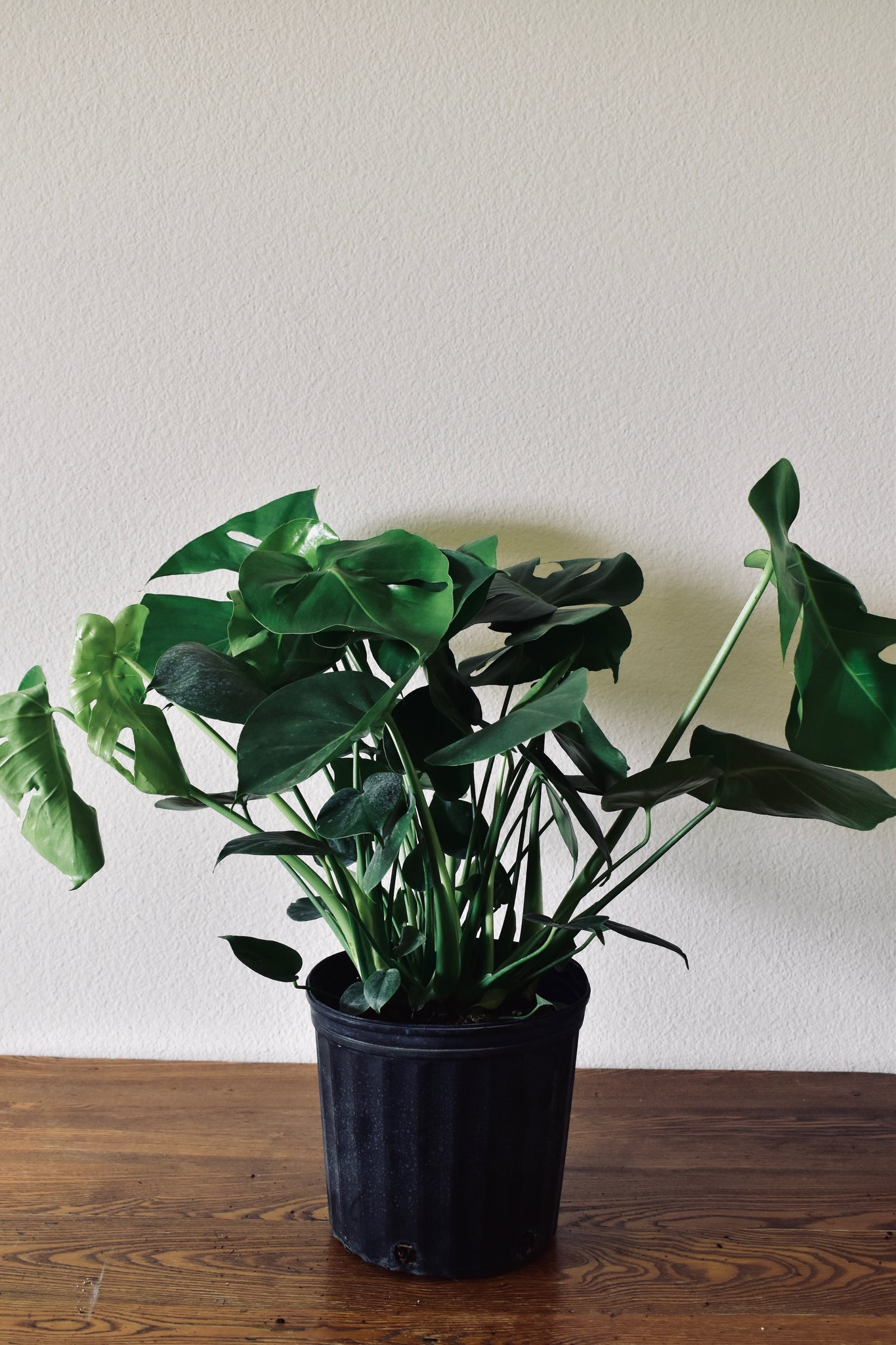 Monstera Deliciosa - Houston Pickup Only