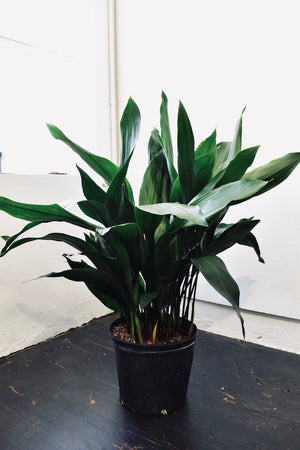 Aspidistra 'Cast Iron' Elatior - Houston Pickup Only