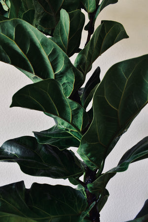 Ficus Lyrata 'Fiddle Leaf Fig' COMPACTA - Houston Pickup Only