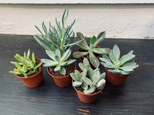 Assorted Succulents (Qty of 3)