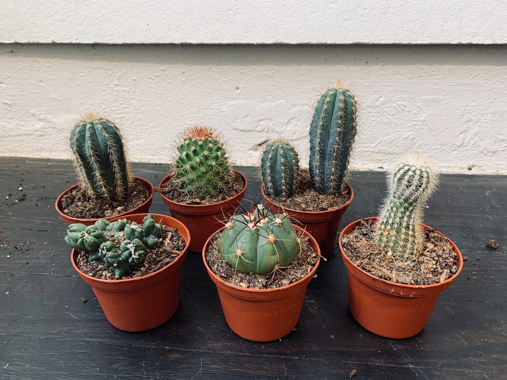 Assorted Cacti (Qty of 3)