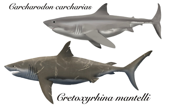 <i>Cretoxyrhina mantelli </i>- Gigantic warm-blooded shark!