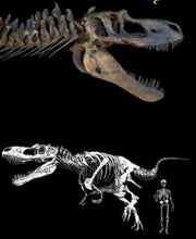 Load image into Gallery viewer, Drawing of Daspletosaurus dinosaur next to a human for size comparison and skull and neck bones