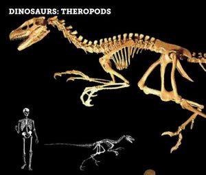 Photograph of a skeleton cast of Dromaeosaurus dinosaur Cretaceous raptor with human for scale