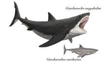 "Load image into Gallery viewer, <i>Carcharocles megalodon</i> aka Megalodon tooth 6"" long and artwork!"