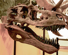 Load image into Gallery viewer, open mouth of a skull of the dinosaur Daspletosaurus