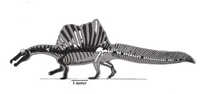 Drawing of Spinosaurus skeleton with a scale bar in side view