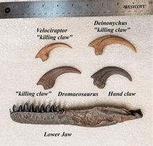 Load image into Gallery viewer, Ultimate Raptor Crate - Exclusive Dromaeosaurus lower jaw!