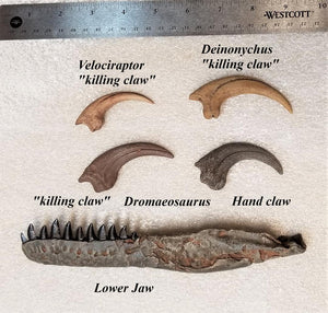 Crate - Ultimate Raptor!  Exclusive <i>Dromaeosaurus</i> lower jaw