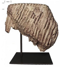 Load image into Gallery viewer, Woolly Mammoth tooth