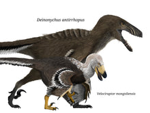 Load image into Gallery viewer, Digital painting of Deinonychus and Velociraptor Cretaceous theropod raptor dinosaurs size comparison