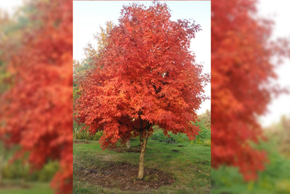 Acer Triflorum - Nettlecreek Nursery