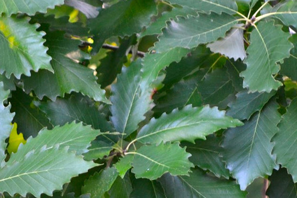 Chinkapin Oak - Nettlecreek Nursery