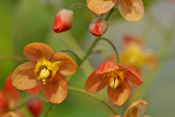 Epimedium Warleyense Orange Queen - Nettlecreek Nursery