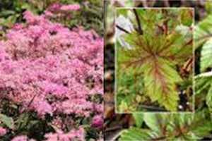 Filipendula Red Umbrellas - Nettlecreek Nursery