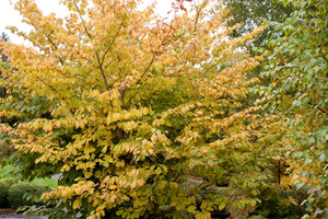 Hamamelis - Nettlecreek Nursery