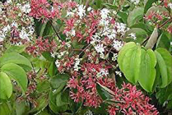 Heptacodium Miconioides Seven-Son Flower - Nettlecreek Nursery
