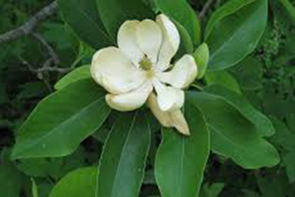 Magnolia Virginiana Northern Belle - Nettlecreek Nursery