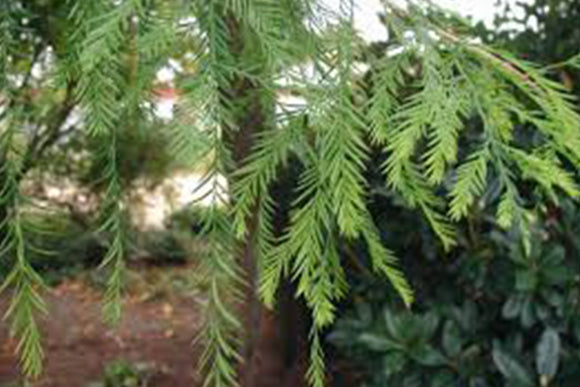 Taxodium distichum Bald Cypress - Nettlecreek Nursery