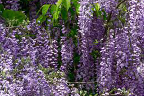 Wisteria Machrostachys Blue Moon - Nettlecreek Nursery