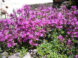 Thymus serpyllum coccineus' Red Creeping Thyme' - Nettlecreek Nursery