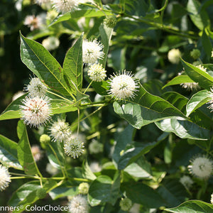 "Cephalanthus occidentalis Buttonbush ""Sugar Shack"" - Nettlecreek Nursery"