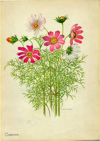 Herboo Cosmos Sensation Seeds
