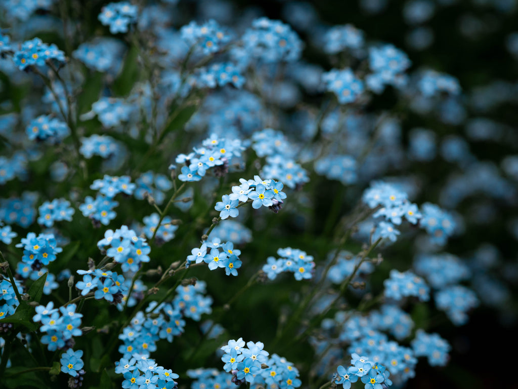 Herboo Forget Me Not