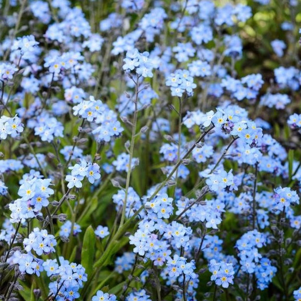 Herboo Forget Me Not Seeds