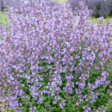 Herboo Catmint Seeds