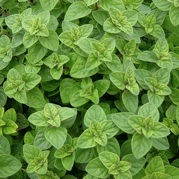 Herboo Oregano Seeds