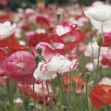 Load image into Gallery viewer, Herboo Poppy Shirley Seeds