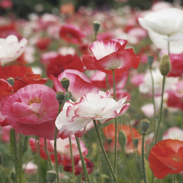 Herboo Poppy Shirley Seeds
